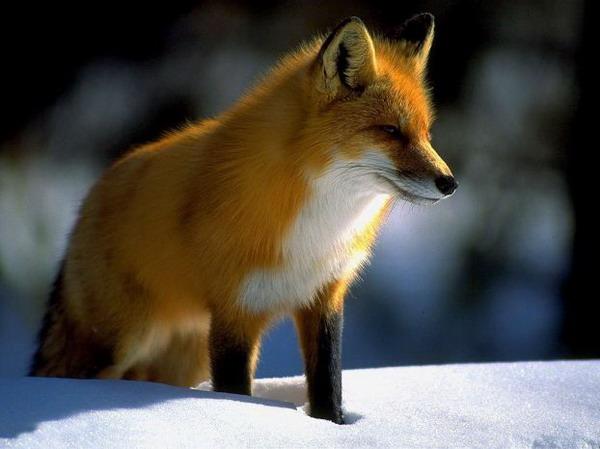 Картинки рыжие лисы - 4