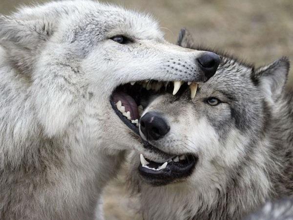 Волки и волки бывают прикольными и