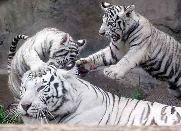 В московском зоопарке родились бенгальские тигры