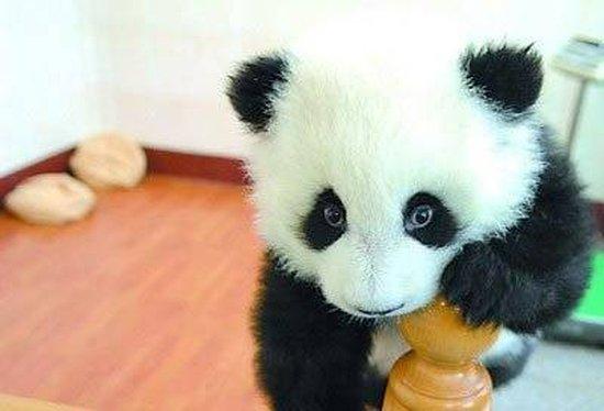 Панды спасение дерево