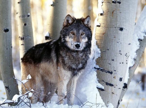 Волки стая волчата альбиносы