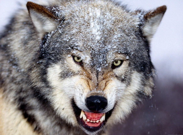 смайлики чат волчат: