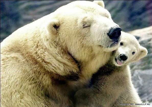 Полярные или белые медведи