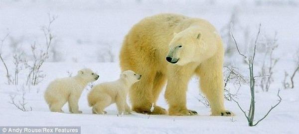 Белые медвежата