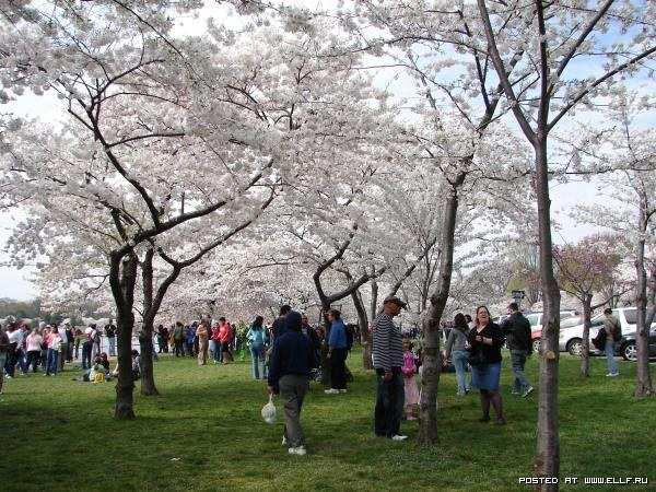 Фестиваль цветущей вишни