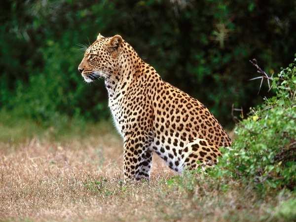 Обои с леопардом