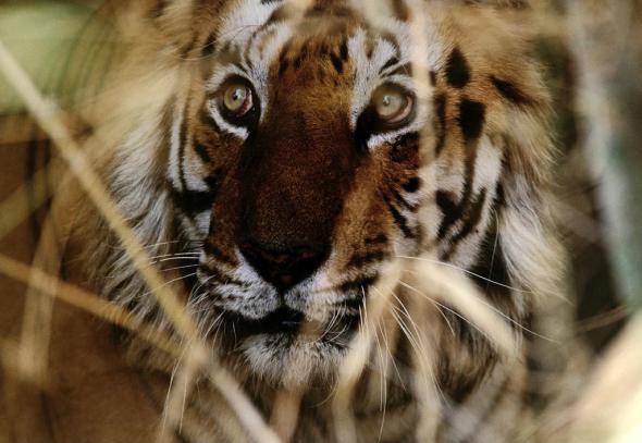 Большие кошки тигр хищник полосатый