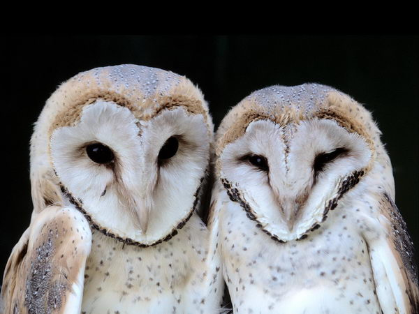 Прекрасные совы