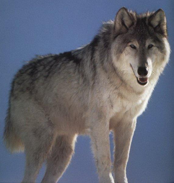 Фотографии волков