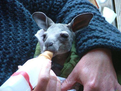 Вомбаты и кенгурята