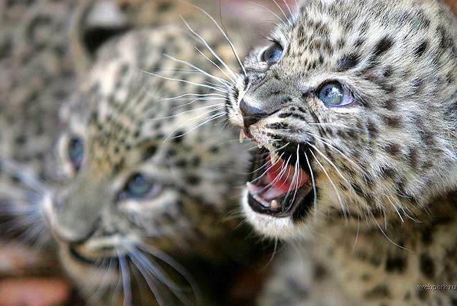Персидские леопарды