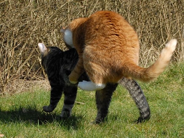 Кошачьи бои