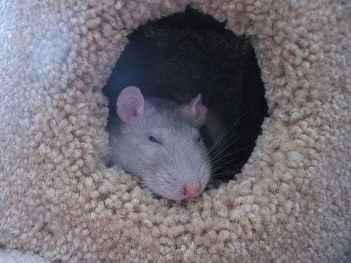 Превед! Я крыс...