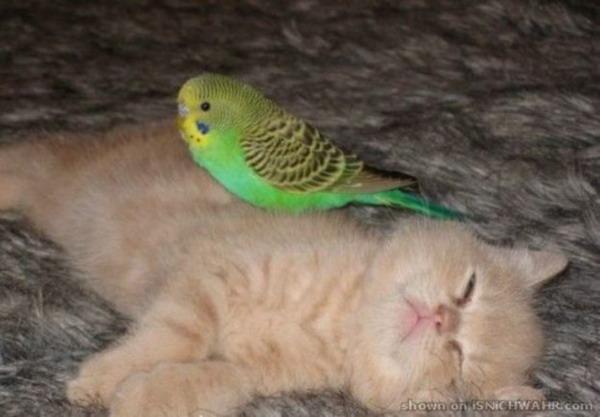 Кот и попугай. Битва насмерть