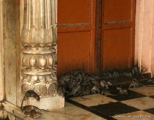 Храм крыс
