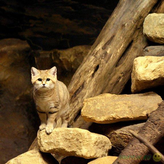 Пустынный кот