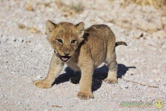 Лев идёт!