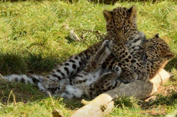 Большие кошки в детстве