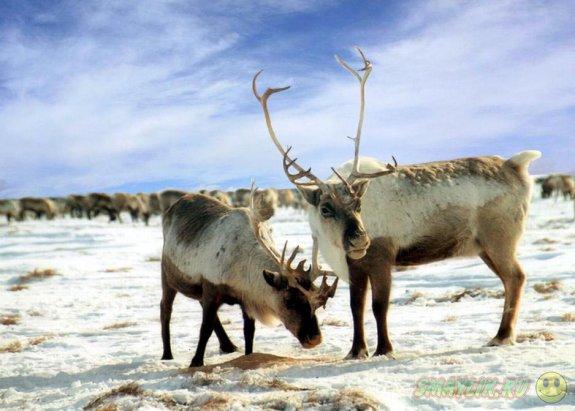 Американский ученый определил породу оленей Санта-Клауса