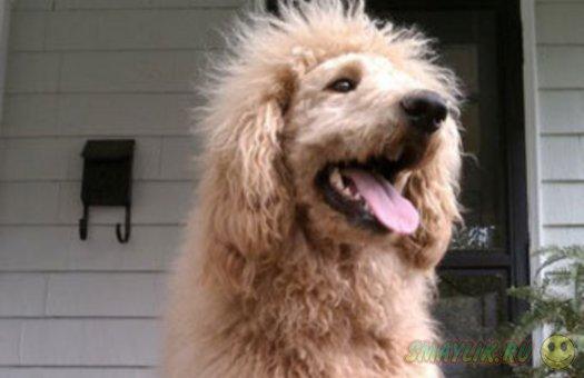 В США гуляющего по улице пса приняли за сбежавшего льва