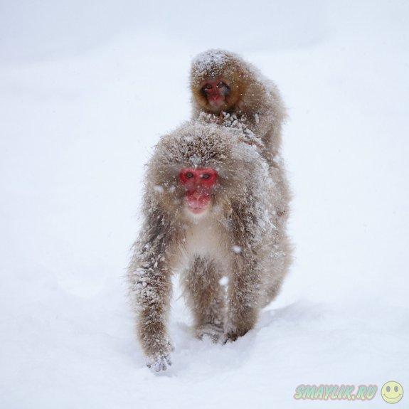 Снежные обезьянки острова Якусима