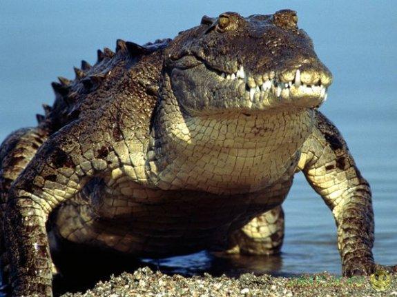 В ЮАР сбежавшие с фермы  крокодилы плавают вокруг домов местных жителей