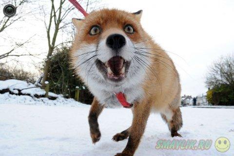 Дружелюбная лисица в  графстве  Уорикшир