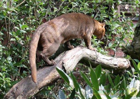 Ягуарунди  - дикая кошка Центральной и Южной Америки