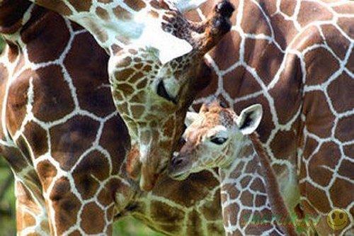 В Майами спасатели помогли подняться жирафе Ките