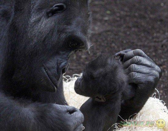 В Московском зоопарке появился на свет детеныш гориллы