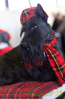 В США прошел старейший международный собачий конкурс красоты