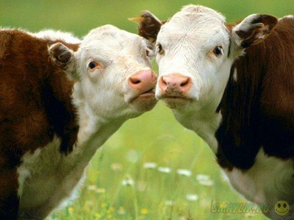 В Британии  для коров и бычков создали сайт знакомств