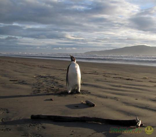 В Новой Зеландии нашли заблудившегося пингвина