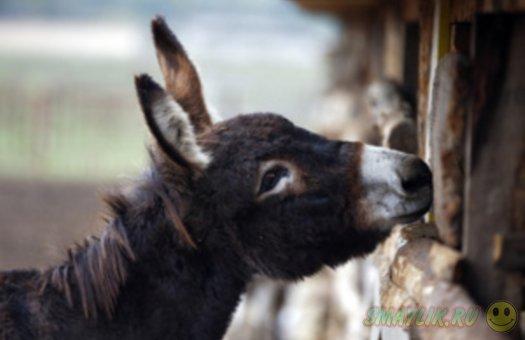 Нетрезвых итальянских водителей будут развозить по домам на ослах