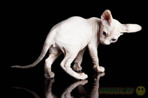 Удивительные кошки «в складочку» породы сфинкс