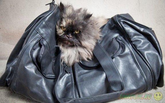 Персидская кошка случайно улетела из Египта в Англию