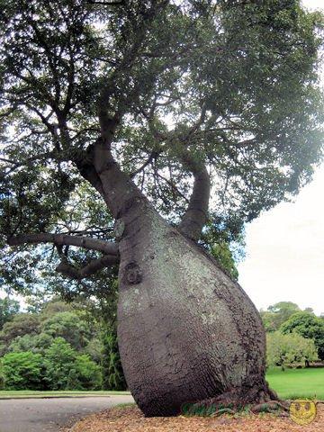 В Австралии 14-метровое дерево пересадят  второй раз за шесть лет