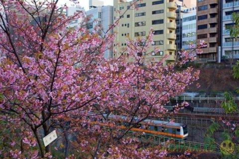 В Японии  цветет сакура