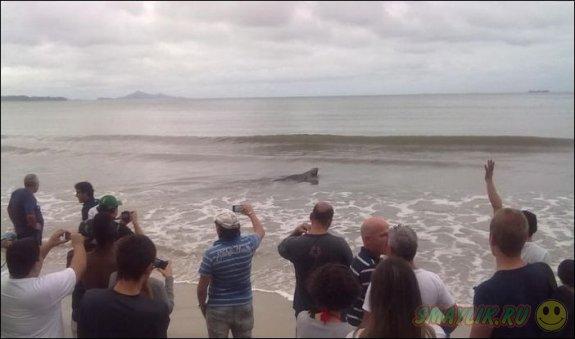 Морской лев решил прогуляться по улицам бразильского городка