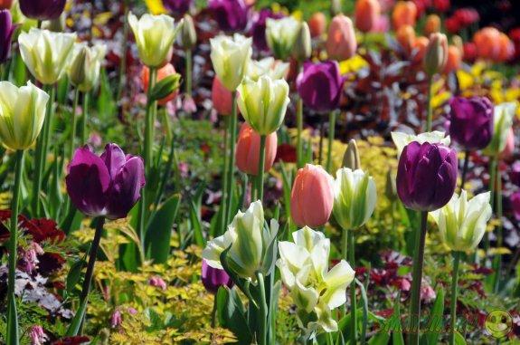 Самый большой в мире фестиваль тюльпанов проходит в  Нидерландах