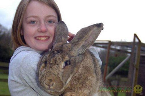 Британский кролик может быть признан самым крупным кроликом в мире