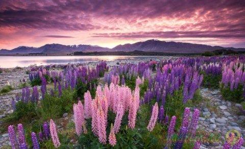 Красочное цветение люпина у озера Текапо