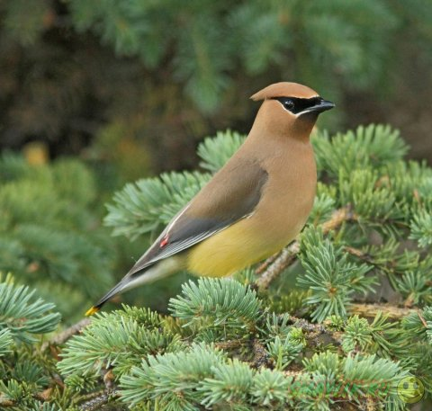 Красивые птицы свиристели