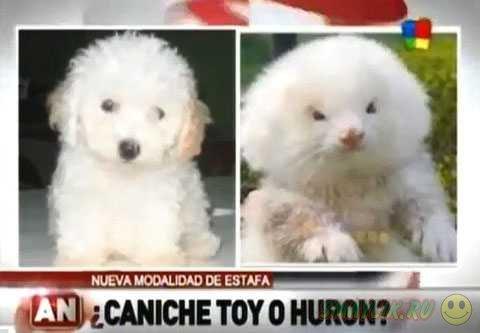 Житель Аргентины купил на рынке двух белых хорьков вместо карликовых пуделей