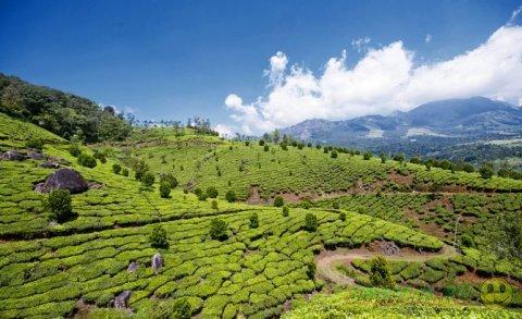 Чайные  плантации в индийском штате Керала