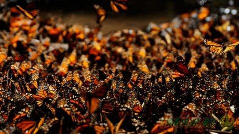 Данаида монарх — бабочки мигрирующие на большие расстояния