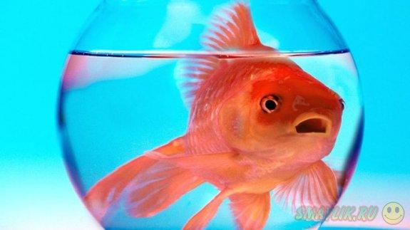 Британский отель предлагает постояльцам взять напрокат золотую рыбку
