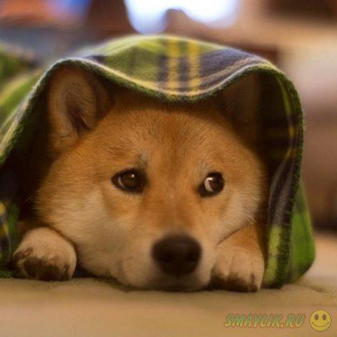Милый пес породы Шиба-Ину