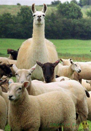 Ламы будут охранять овец от волков
