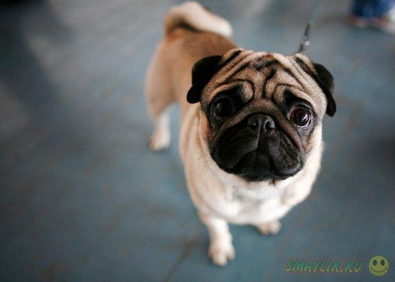Авиакомпания Brussels Airlines не будет перевозить собак и котов с плоскими мордами
